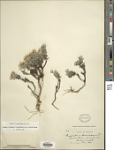 view Chionolaena lavandulifolia (Kunth) Benth. & Hook. digital asset number 1