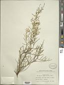 view Baccharis scoparioides Griseb. digital asset number 1