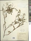 view Baccharis salicifolia (Ruiz & Pav.) Pers. digital asset number 1
