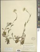 view Antennaria parlinii Fernald digital asset number 1