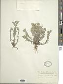 view Filago spathulata C. Presl digital asset number 1