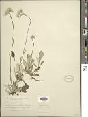 view Antennaria decipiens digital asset number 1