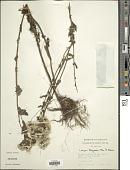 view Conyza tigrensis Oliv. & Hiern digital asset number 1