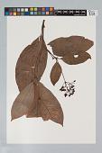 view Psychotria irwinii Steyerm. digital asset number 1