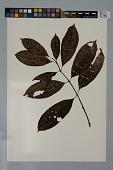 view Psychotria erecta (Aubl.) Standl. & Steyerm. digital asset number 1
