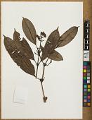 view Psychotria tepuiensis (Steyerm.) Steyerm. digital asset number 1
