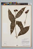 view Psychotria poeppigiana Müll. Arg. digital asset number 1