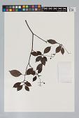 view Psychotria cupularis (Müll. Arg.) Standl. digital asset number 1