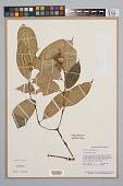 view Psychotria apoda Steyerm. digital asset number 1
