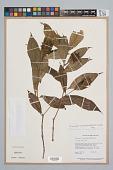 view Psychotria bracteocardia (DC.) Müll. Arg. digital asset number 1