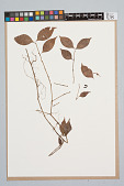 view Psychotria hoffmannseggiana var. hoffmanneseggiana (Willd. ex Roem. & Schult.) Müll. Arg. digital asset number 1