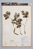 view Psychotria officinalis (Aubl.) Raeusch. ex C.I. Sandwith digital asset number 1