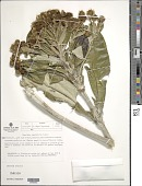 view Libanothamnus spectabilis (Cuatrec.) Cuatrec. digital asset number 1