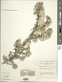 view Ozothamnus secundiflorus (N.A. Wakef.) C. Jeffrey digital asset number 1