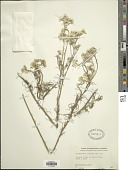 view Rhodanthe polyphylla (F. Muell.) Paul G. Wilson digital asset number 1