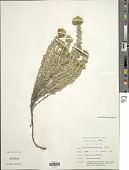 view Helichrysum glomeratum Klatt digital asset number 1