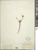 view Helichrysum forskahlii (J.F. Gmel.) Hilliard & B.L. Burtt digital asset number 1