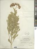 view Tessaria absinthioides (Hook. & Arn.) DC. digital asset number 1