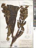 view Ruilopezia marcescens (S.F. Blake) Cuatrec. digital asset number 1