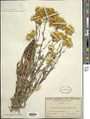 view Helichrysum apiculatum (Labill.) D. Don digital asset number 1