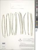 view Ruilopezia jabonensis (Cuatrec.) Cuatrec. digital asset number 1
