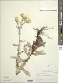 view Helichrysum foetidum digital asset number 1