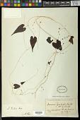 view Dioscorea grisebachii Kunth digital asset number 1