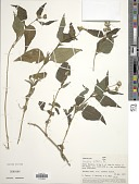 view Wedelia latifolia DC. digital asset number 1