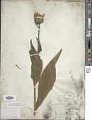 view Wyethia angustifolia (DC.) Nutt. digital asset number 1