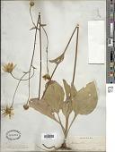view Helianthus occidentalis Riddell digital asset number 1