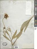 view Helianthus rigidus (Cass.) Desf. digital asset number 1