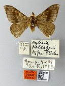 view Hylesia palcazua Schaus, 1927 digital asset number 1