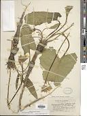 view Balsamorhiza deltoidea Nutt. digital asset number 1