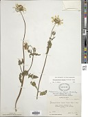view Tetragonotheca repanda (Buckley) Small digital asset number 1