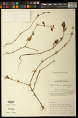 view Podocarpus sellowii digital asset number 1