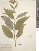 view Helianthus strumosus L. digital asset number 1