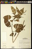 view Chamissoa altissima (Jacq.) Kunth digital asset number 1
