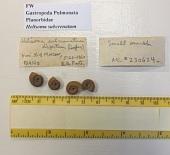 view Helisoma (Pierosoma) subcrenatum disjectum digital asset number 1
