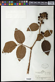 view Rubus brasiliensis var. organensis (Gardner) Mart. digital asset number 1