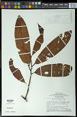 view Iryanthera paraensis Huber digital asset number 1