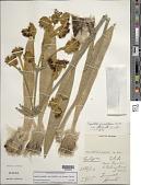view Espeletia grandiflora var. attenuata Cuatrec. digital asset number 1