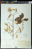 view Bryophyllum pinnatum (Lam.) Kurz digital asset number 1