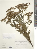 view Verbesina macrophylla (Cass.) S.F. Blake digital asset number 1