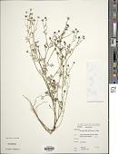 view Chrysanthellum americanum (L.) Vatke digital asset number 1