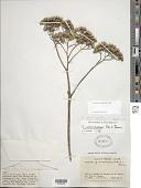 view Verbesina columbiana B.L. Rob. digital asset number 1