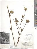 view Silphium terebinthinaceum var. terebinthinaceum Jacq. digital asset number 1
