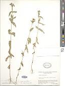 view Zinnia multiflora L. digital asset number 1