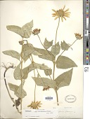 view Heliopsis helianthoides subsp. occidentalis T.R. Fisher digital asset number 1