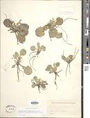 view Chrysogonum virginianum var. australe (Alexander ex Small) Ahles digital asset number 1