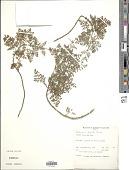 view Ambrosia hispida Pursh digital asset number 1